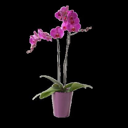 Orquidea lila